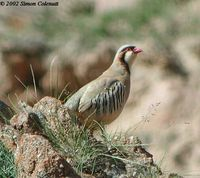 Rusty-necklaced Partridge - Alectoris magna