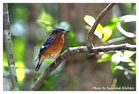 White-throated Rock Thrush - Monticola gularis