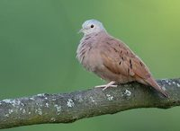 Ruddy Ground-Dove (Columbina talpacoti) photo