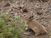 photo - Pika, Ochotona dauurica
