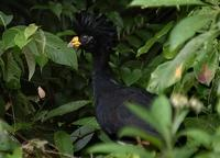 Great Curassow close-up