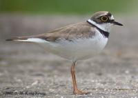 Little-Linged Plover Charadrius dubius 꼬마물떼새