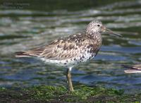 Great Knot Calidris tenuirostris 붉은어깨도요