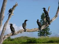 Little Black Cormorants, Phalacrocorax sulcirostris, Dulong Road, Queensland, January 2005.  Pho...
