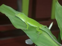 : Norops biporcatus; Neotropical Green Anole