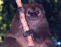 photo of bamboo lemur:  Hapalemur simus