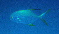 Trachinotus blochii, Snubnose pompano: fisheries, aquaculture, gamefish, aquarium