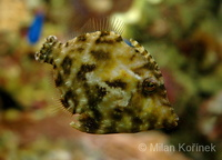 Acreichthys tomentosus - Bristle-tail File-fish