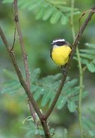 Rusty-margined Flycatcher (Myiozetetes cayanensis) photo