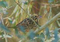 Henslow's Sparrow (Ammodramus henslowii) photo