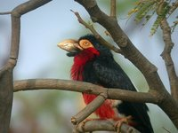 Bearded Barbet - Lybius dubius