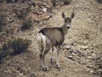 Taruca or North Andean Deer (Hippocamelus antisensis)