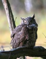 Great Horned Owl. We see very few of these guys and rarely get to photograph them.