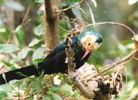White-headed Wood-hoopoe