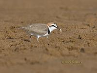 Kentish plover C20D 02380.jpg