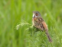 Grey-headed Bunting Emberiza fucata 붉은뺨멧새