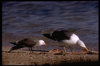: Larus livens; Yellow-footed Gull