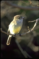 : Myiarchus magnirostris; Galapagos Broad Bill Flycatcher