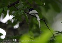 Mangoverde World Bird Guide Photo Page: Asian Paradise-Flycatcher Terpsiphone paradisi