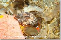 ...Image 13725, Grunt sculpin poised in a barnacle shell.  Grunt sculpin have evolved into its stra