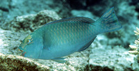 Chlorurus frontalis, Tan-faced parrotfish: aquarium