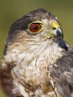 Accipiter striatus - Sharp-shinned Hawk