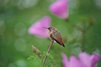 Selasphorus sasin - Allen's Hummingbird