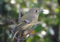 Regulus calendula - Ruby-crowned Kinglet
