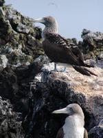 Image of: Sula nebouxii (blue-footed booby)