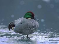 Falcated Duck (Anas falcata) photo