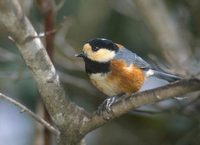 Varied Tit (Parus varius) photo