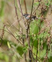 Pale-breasted Spinetail (Synallaxis albescens) photo