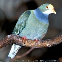 Orange-fronted Fruit-Dove - Ptilinopus aurantiifrons
