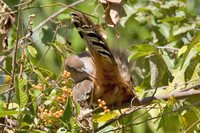 Great Lizard-Cuckoo - Saurothera merlini
