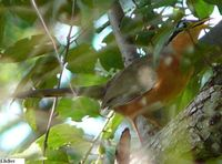 Lesser Ground-Cuckoo - Morococcyx erythropygus