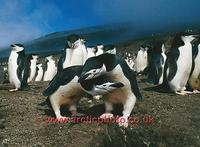 ...FT0131-00: Pair of Chinstrap Penguins display at the nest on Saunders Is. S. Sandwich Islands. S