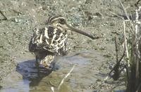 153 꺅도요 Gallinago gallinago ( Common Snipe)