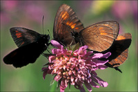 : Erebia manto; Yellow-spotted Ringlet