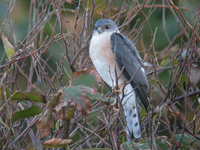 조롱이 Accipiter gularis | Japanese lesser sparrow hawk