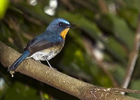 Cyornis banyumas | Hill Blue Flycatcher