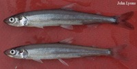 Osmerus mordax mordax, Atlantic rainbow smelt: fisheries, gamefish