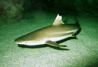 Carcharhinus melanopterus, Blacktip reef shark: fisheries, aquarium