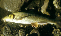 Barbus meridionalis, Mediterranean barbel: fisheries, gamefish