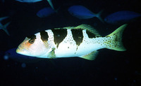 Plectropomus laevis, Blacksaddled coralgrouper: fisheries, gamefish