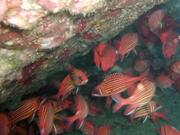 Sargocentron hastatum, Red squirrelfish: fisheries