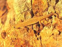 Triturus vulgaris - Smooth Newt