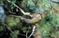 Image of: Carpodacus trifasciatus (three-banded rosefinch)