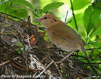 Rusty-naped Pitta - Pitta oatesi