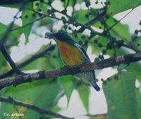Yellow-rumped Flowerpecker - Prionochilus xanthopygius