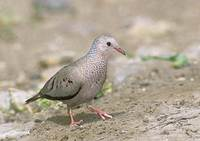 Common Ground-Dove (Columbina passerina) photo